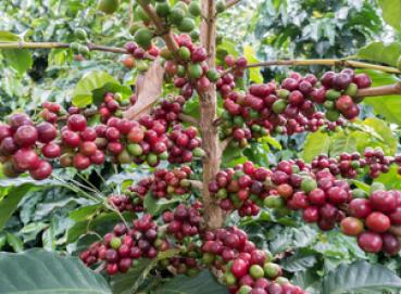 Specialty coffee Single Origin Huila, Blend 85+ Image