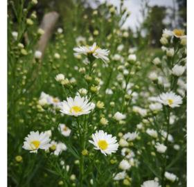 ASTER WHITE SUNSPRING